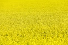 rapeseed Стоковое Фото