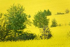 Rapeseed Fotos de Stock Royalty Free