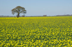 Rapeseed. Swedish rape field and a solitaire tree in background Stock Photos