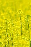 rapeseed Стоковые Фото