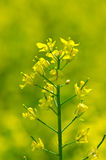 Rapeseed Stock Photo