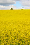 Rapeseed 3. Rapeseed field and sky royalty free stock image
