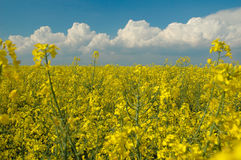 Rapeseed Royalty Free Stock Image