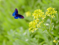 Rapeseed. Flowers and blue butterfly Stock Photo