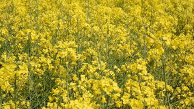 rapeseed stock video
