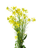 Rapeseed. Flowers isolated on white background Royalty Free Stock Photo