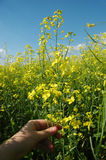 Rapeseed. A field of rape (colza) plants in bloom (in latin - Brassica napus or Brassica oleifera). Rapeseed is widely used for biodiesel production Stock Photography