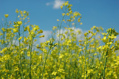 Rapeseed. A field of rape (colza) plants in bloom (in latin - Brassica napus or Brassica oleifera). Rapeseed is widely used for biodiesel production Royalty Free Stock Images