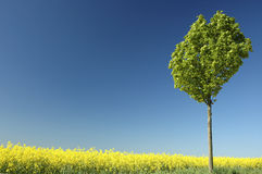 Rapeseed. Lonely tree in a canola field Royalty Free Stock Image