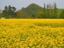 rapeseed image stock