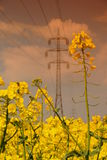rapeseed Images stock