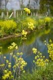 rapeseed fotografia stock