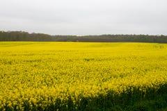 rapeseed photo stock
