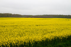 rapeseed photographie stock