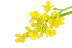 Rapeseed. Macro of rapeseed flower isolated on white Stock Images
