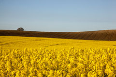 Rapeseed. And acres of fields with oilseed rape and plowing Royalty Free Stock Image