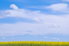 Rapeseed against blue sky. Field of rapeseed against a cloudy blue sky Royalty Free Stock Images