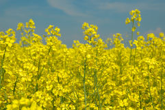 Rapeseed And And Blue Sky Stock Photo