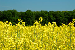 Rapeseed And Blue Sky Stock Photography