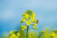 Rapeseed and bee. Coexistence between insect and plants Royalty Free Stock Photos