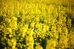 Rapeseed bloom in april Stock Photos