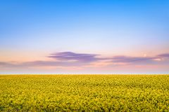 Rapeseed bloom in the spring at sunset stock photography