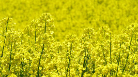 Rapeseed blooming  Stock Photo