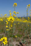 Rapeseed Blooms Royalty Free Stock Images