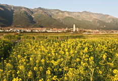 Rapeseed Blooms and the Three Pagodas. Brilliant yellow rapeseed blooms catch the morning light with the Three Pagoda Temples in the background in Dali, Yunnan Royalty Free Stock Photo