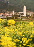 Rapeseed Blooms and the Three Pagodas. Brilliant yellow rapeseed blooms catch the morning light with the Three Pagoda Temples in the background in Dali, Yunnan Stock Photos