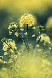 Rapeseed blossom or Brassica napus Royalty Free Stock Photos