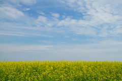 Rapeseed blossom flowers Royalty Free Stock Images
