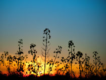 Rapeseed blossom at sunset Stock Images