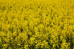 Rapeseed (Brassica napus). Stock Images