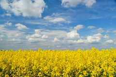 Rapeseed spring crop on farmland, member of the family Brassicaceae and cultivated mainly for its oil rich seed set against a dram. Rapeseed Brassica napus, also royalty free stock photography