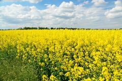 Rapeseed spring crop on farmland, member of the family Brassicaceae and cultivated mainly for its oil rich seed set against a dram. Rapeseed Brassica napus, also royalty free stock images