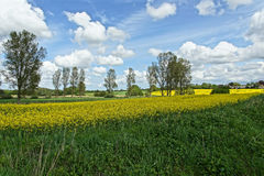 Rapeseed (Brassica napus) Royalty Free Stock Photos