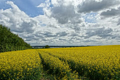 Rapeseed (Brassica napus) Stock Photo