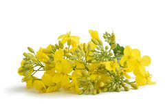 Colza Brassica napus. Rapeseed Brassica napus flowers isolated on white stock photography