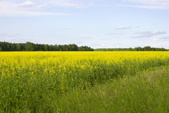 Free Rapeseed Brassica Napus Oil Seed Rape, Stock Photos - 96695383