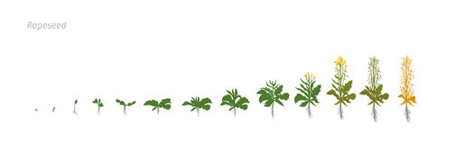 Rapeseed Brassica napus oilseed rape Growth stages vector illustration. Rapeseed Brassica napus oilseed rape. Vector Illustration of the lentil growing plants Royalty Free Stock Photo