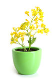 Rapeseed (Brassica napus) in pot. On a white background stock images