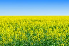 Rapeseed Brassica napus, rape, oilseed field. Bright-yel royalty free stock photo