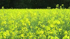 Rapeseed Brassica napus yellow plants with bees flysing around stock video footage