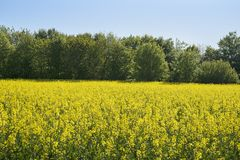 Rapeseed or canola field with yellow blooming oilseed in front of a forest against a clear blue sky, copy space. Rapeseed or canola field with yellow blooming royalty free stock images