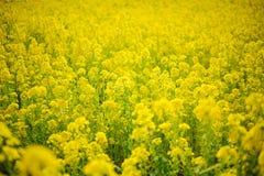 Canola plantation. Rapeseed or canola plantation harvest season stock photo
