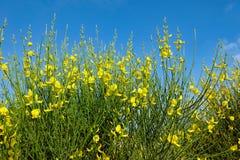 Rapeseed, Canola, Yellow, Ecosystem stock photo