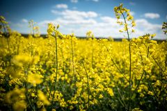 Rapeseed, Canola, Yellow, Mustard Plant royalty free stock photography