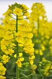 Rapeseed close-up Royalty Free Stock Photos