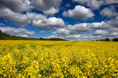 Rapeseed and Clouds. An English field of bright yellow rapeseed flowers under a cloudy sky Stock Images